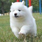 Продам щенков самоеда