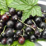 Харчові добавки  порошок чорної смородини