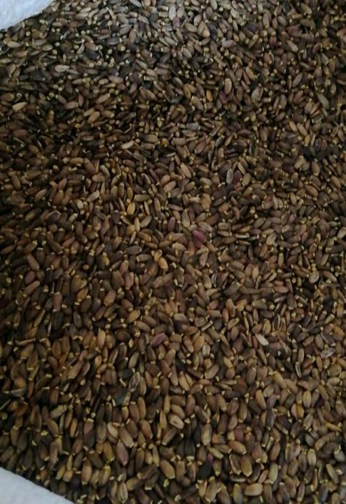 Продам семена расторопши